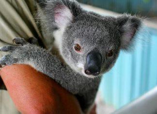 Les Koalas menacés d'exticntion