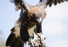 Aigle dans le Kimberley