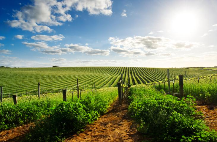 Les vendanges sont un job possible pour le Working Holiday Visa Australie