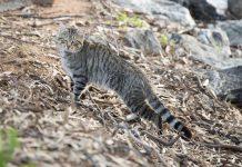 Chat sauvage d'Australie