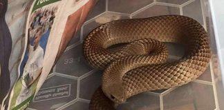 Serpent mortel Adelaide