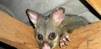 Opossums Tasmanie