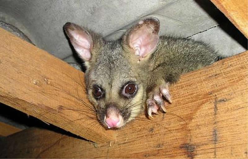 En Tasmanie Les Opossums Prennent La Place Des Diables