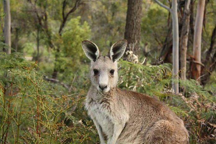 Kangourou à 5 pattes