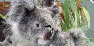 Ultrasons pour sauver les koalas