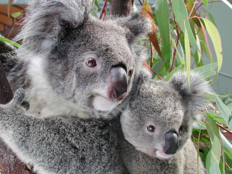 en australie des ultrasons pour sauver les koalas. Black Bedroom Furniture Sets. Home Design Ideas