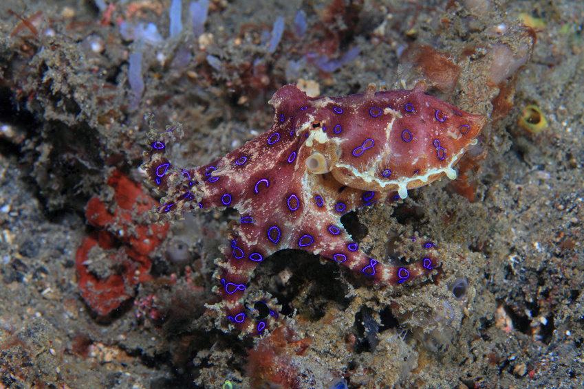 Pieuvre Blue Ring Octopus