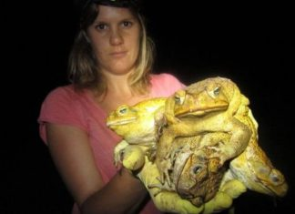 Invasion de crapauds géants en Australie