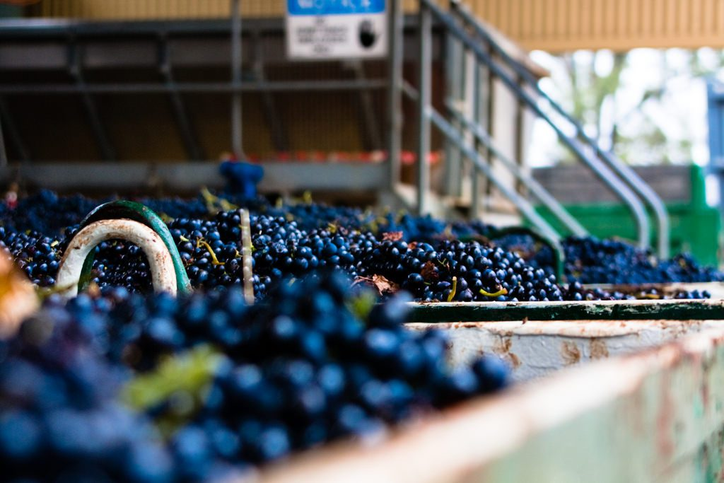 raisin pour le vin