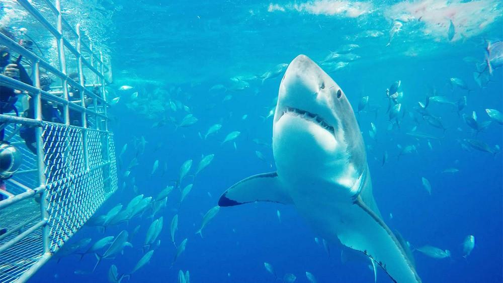 shark cage diving australie