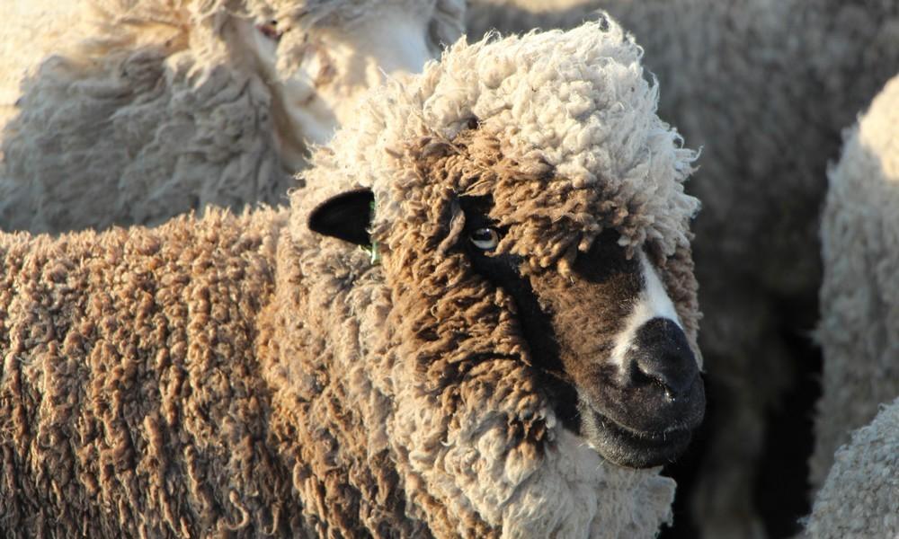 mouton merinos