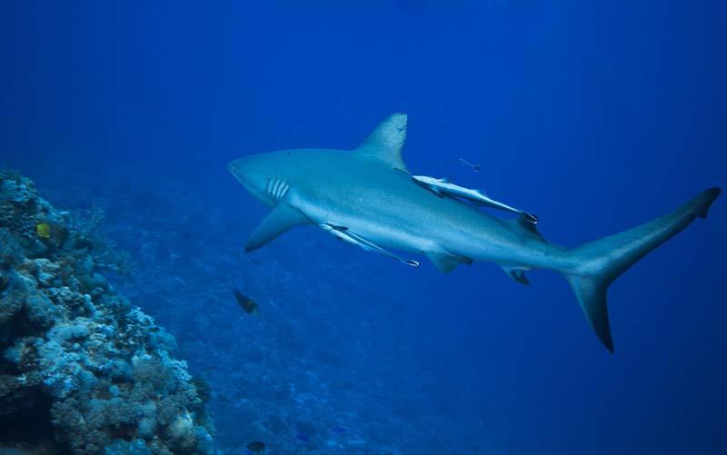 requin récif osprey reef