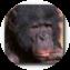 Illustration du profil de bonob