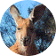 Illustration du profil de austrafille